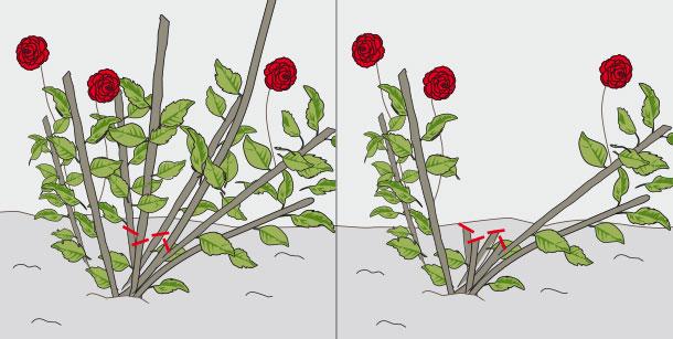H galo usted mismo c mo realizar poda de rosas - Poda de hortensias epoca ...