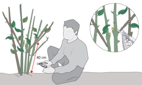 H galo usted mismo c mo podar rboles y arbustos en - Como podar la hortensia ...