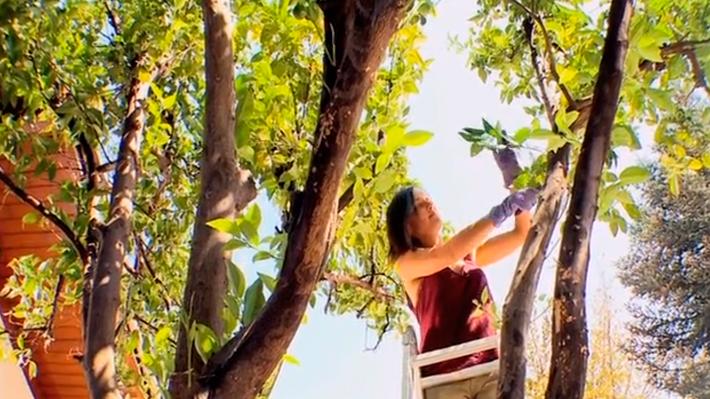 Los árboles frutales cítricos, como limón, naranjo y kumquat, son muy comunes en los jardines, por su rápido crecimiento y porque se puede aprovechar su fruto. Son especies muy susceptibles al ataque de una plaga llamada conchuela y del hongo llamado fumagina. Además de hacer labores curativas se puede prevenir su aparición para que los árboles no se dañen.