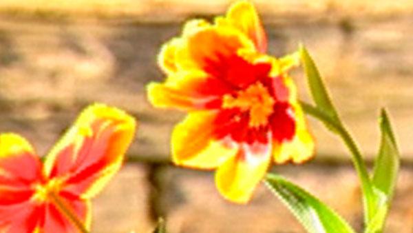 La primavera está por llegar y hay que preparar el jardín para que flores, arbustos y pasto crezcan fuertes y sanos. Septiembre es un mes muy intenso en las labores de mantención que debemos realizar, ya que mejoran las condiciones climáticas y se hace necesario arreglar los daños producidos por el invierno, abonar las plantas y arbustos para una buena floración y poder disfrutar de un hermoso jardín lleno de colores.