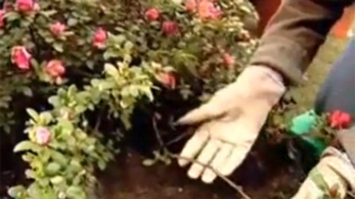 Las plantas flexibles, como los cardenales, o semi flexibles como las azaleas, se pueden multiplicar por acodo, un método que permite reproducir una especie que destaque por su bonita floración, follaje, por ser poco común o, sencillamente, porque le tenemos cariño y queremos tener nuevos ejemplares.