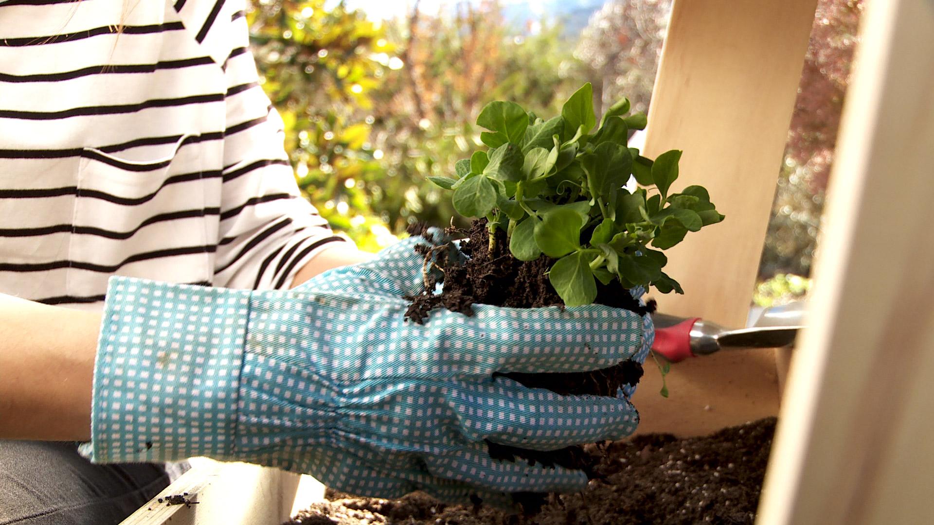 Durante la primavera son muchas las hortalizas y verduras que se pueden plantar en una huerta, ya que hay más sol, y eso propicia su buen desarrollo. Se puede comenzar con almácigos ya germinados, con plantas pequeñas o, incluso algunas especies se pueden sembrar directamente en la tierra.