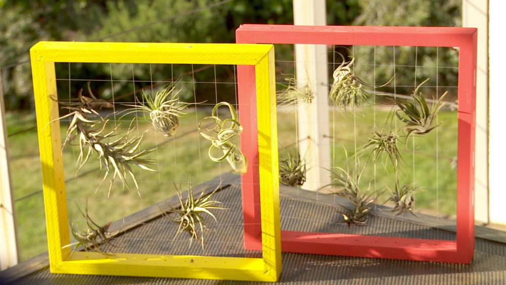 Las epifitas son plantas que tienen la característica de carecer de apoyo, por lo que suelen desarrollarse sobre otras especies, sin causarles daño, porque no son parásitos. Aprovechando esta característica haremos un cuadro con una trama de hilo de pescar que sostenga la planta la epifita.