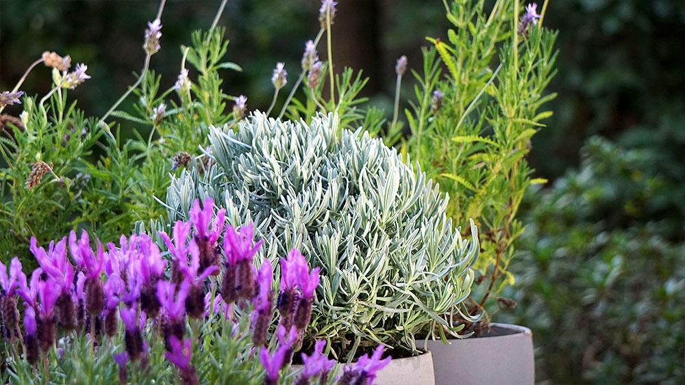 """No hay arbusto más reconocible por su aroma que la lavanda. Los tipos más conocidos son la variedad francesa y la inglesa, aunque últimamente ha surgido la """"Madrid"""" que proviene del norte de África. Aunque sus hojas y flores tienen algunas diferencias, todas ellas necesitan un buen drenaje y un buen sustrato."""