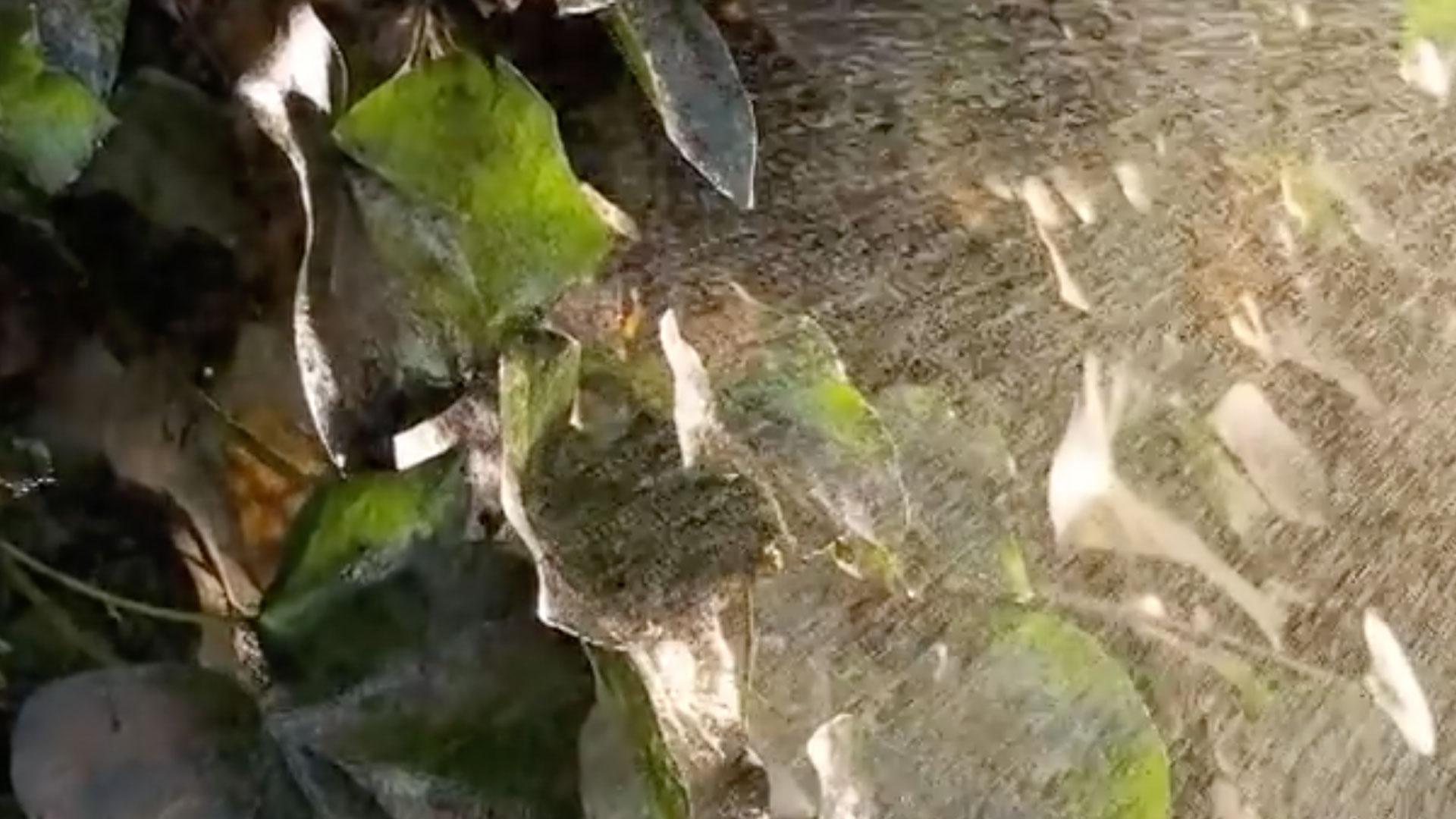 Es normal que el crecimiento que tienen las plantas en primavera haga ver un poco desordenado y sucio al jardín, los follajes crecen un poco revueltos y las plagas comienzan a ensuciar el entorno. Por eso una labor muy necesaria es limpiar los setos, aquellos cercos naturales formados por arbustos como las ligustrinas, pitosporo, viburnum, etc. que en esta época se llenan de polvo y algunas plagas los comienzan a atacar.