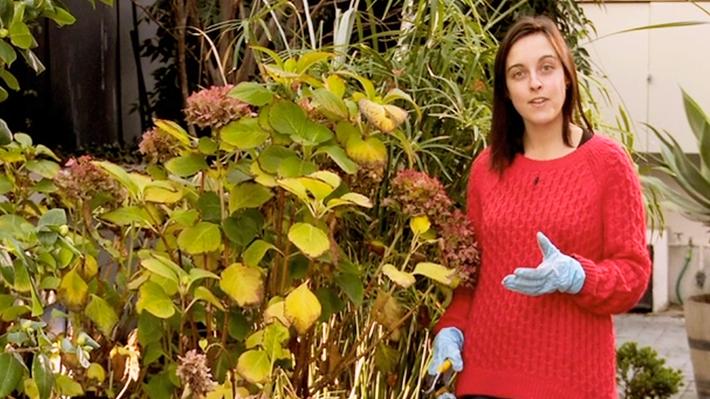 Las hortensias son plantas comunes en los jardines, porque son resistentes y fáciles de reproducir, pero 1 vez al año hay que podarlas para que crezcan sanas y resistentes, ya que las flores aparecen en las ramas nuevas, no en las antiguas.