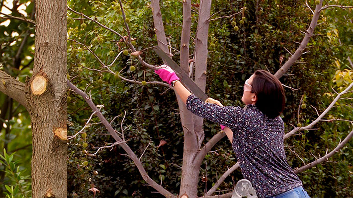 La mayoría de las plantas de tallo leñoso, ya sean árboles, arbustos o trepadoras necesitan una poda en algún momento de su vida, aunque en muchos casos, no hace falta que sea una poda anual. Es el caso del liquidámbar un árbol que se caracteriza por su forma piramidal, por lo que hay que tener mucho cuidado con la poda que puede hacerle perder este aspecto.