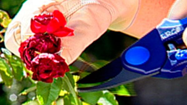 Las rosas son una de las especies más comunes en el jardín, no sólo por la belleza de sus flores, sino porque, a pesar de lo que se cree, son arbustos muy resistentes y su floración es bastante larga, sobre todo si se cuida y poda correctamente.Esta labor se debe hacer 2 veces al año, una a finales del verano y la otra en invierno, una poda que tiene directa relación con el rejuvenecimiento y vitalidad para la siguiente floración.