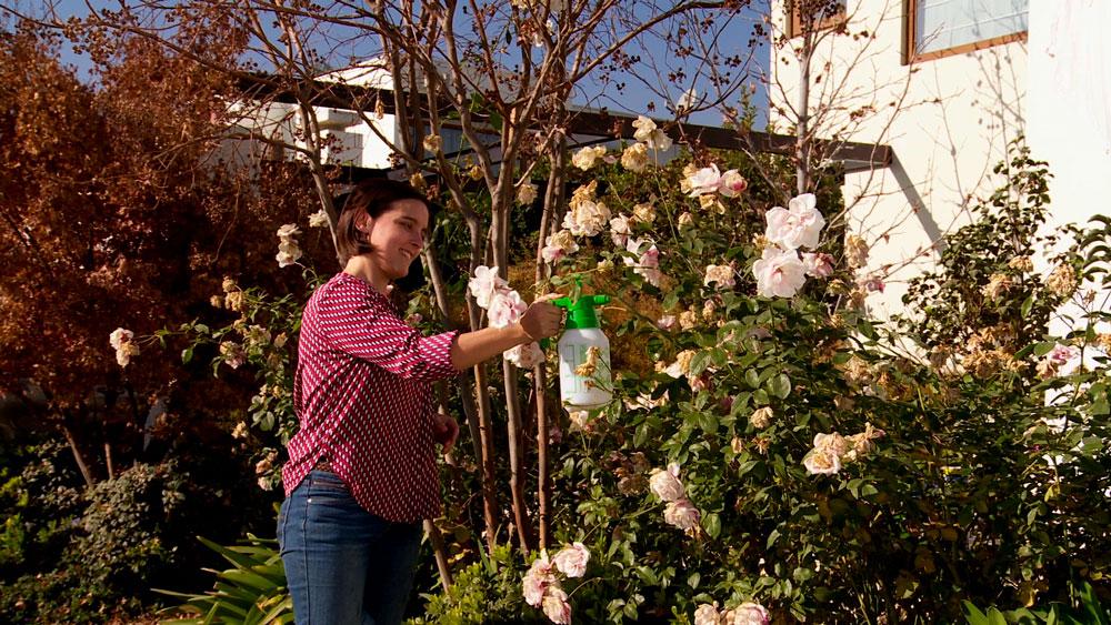 El invierno es una muy buena época para trabajar en la prevención de hongos, especialmente en arbustos sensibles como rosas, camelias y azaleas. Los síntomas varían de acuerdo al tipo de hongo que ha atacado a la planta.