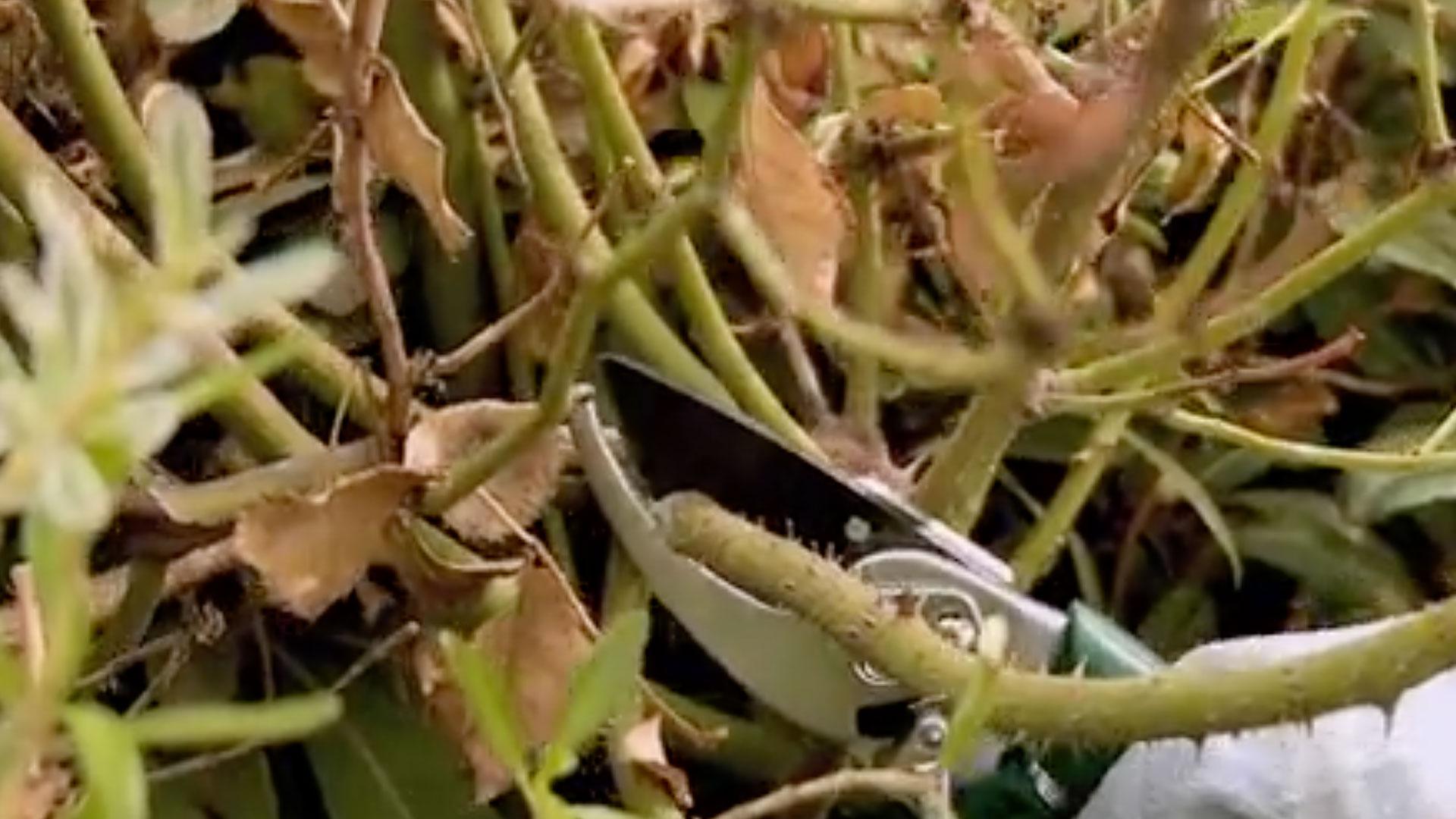 La poda de rosas consiste en la eliminación de ramas secas y débiles para ayudar a mantener a la planta de forma vigorosa y con una buena floración. Una correcta poda en invierno hará que el arbusto se desarrolle sanamente, con un abundante follaje y floración.