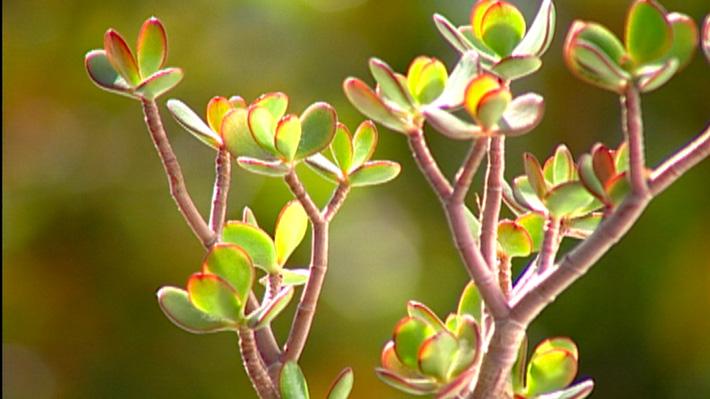 """En verano hay varias especies que comienzan a florecer en nuestro jardín. Una de ellas es el """"hibiscus"""" que da una flor atrompetada muy grande y colorida. Si queremos que la planta viva muchos años, debemos tener cuidado ya que su crecimiento se puede ver afectado por alguna plaga, pero no se preocupen, aquí les enseñaremos a combatirlas, además de cómo multiplicar suculentas."""