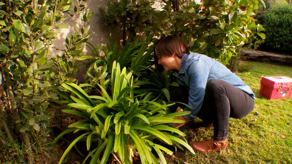 Es común que con el tiempo las plantas y el jardín que planificamos pierdan su forma original, en algunos casos se puede controlar con la poda. En otros es necesario trasplantar especies, por ejemplo cuando los agapantos crecen de manera excesiva, alterando el diseño general y el crecimiento de la planta.